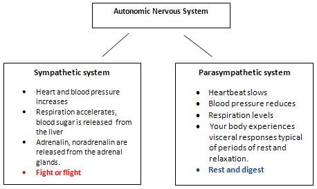 autonomic_nervous_system12