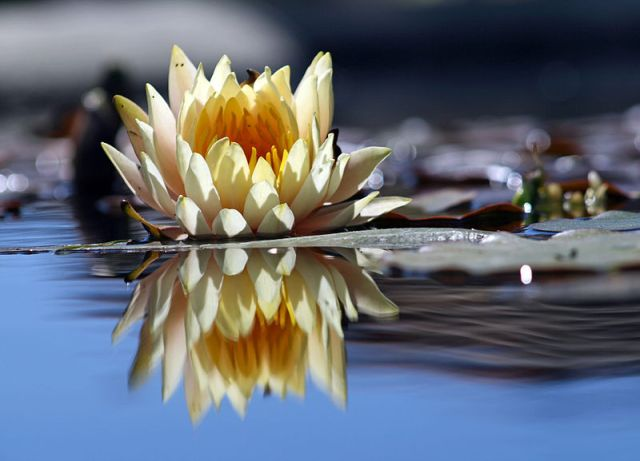 800px-Flower_reflection